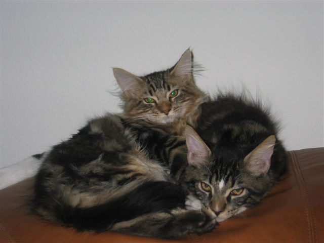 Suncoon Maine Coon Cats - About Us