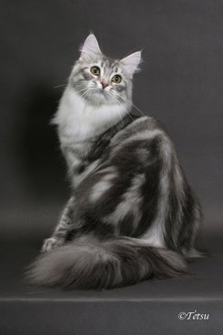 Retired Queens Suncoon Maine Coon Cats