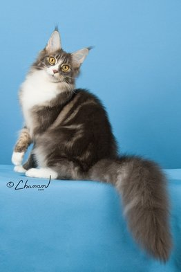 Available Adults - Suncoon Maine Coon Cats